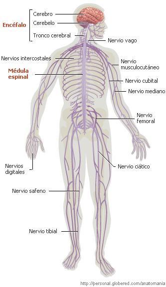 20141008110444-sistema-nervioso.jpg